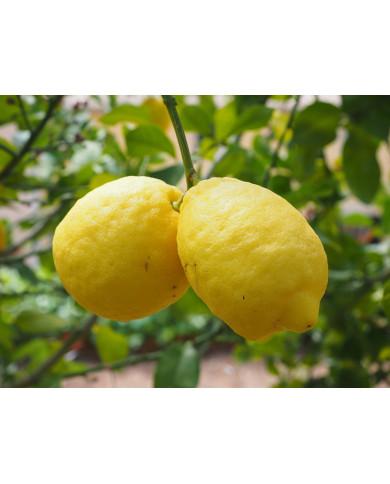 Citron   H E bio