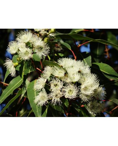 Eucalyptus citriodora HE