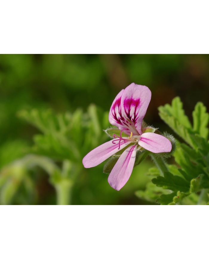 Géranium rosat  HE