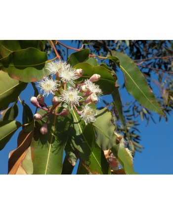 Eucalyptus globulus  HE Bio