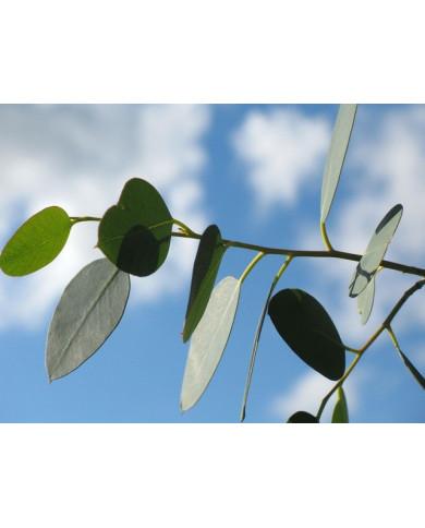 Eucalyptus radiata  HE Bio