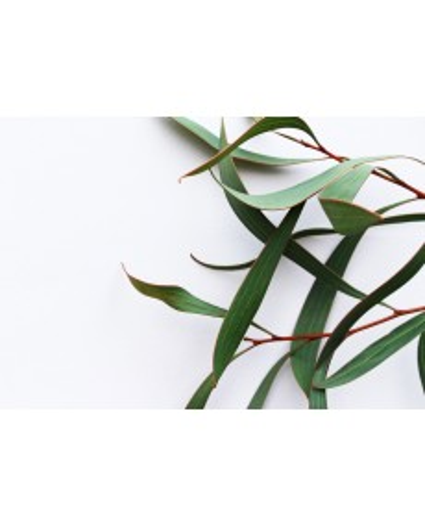 Eucalyptus globulus  Bio RUPTURE (Voir H134)