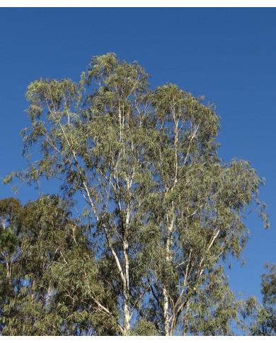 Sirop BIO Propolis Miel Eucalyptus  Thym