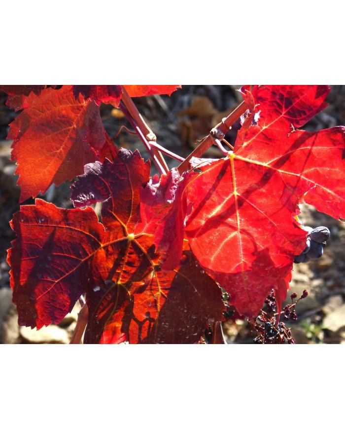 Vigne rouge  gélules